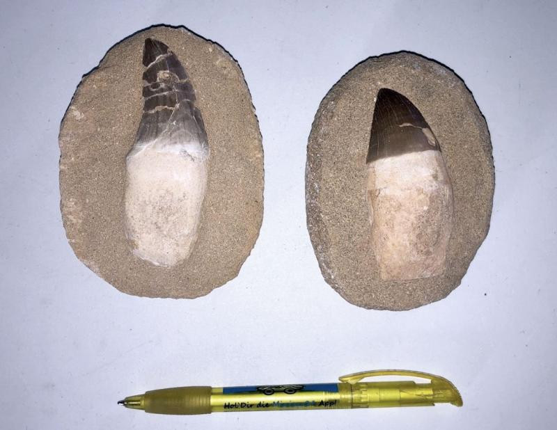 Mosasaurus teeth with root, mounted on matrix, Morocco, 1 piece