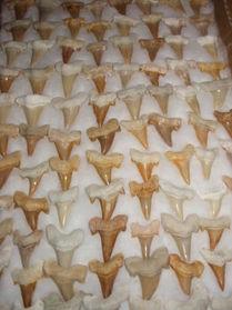 Shark teeth, small, Morocco 1 piece