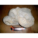 Ammonite-groups 15-20 cm, rough, ready prepared, Morocco
