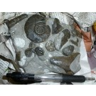 Ammonite-groups on matrix, ready prepared, Morocco
