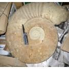 Ammonite 45 cm, rough, ready prepared, Morocco, 1 Stück