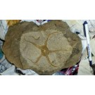 Brittle Star (100% natural), Morocco, 1 piece