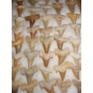 Shark teeth, medium, Morocco, 100 piece