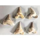 Shark teeth, repaired, 7 cm, Morocco, 50 pieces