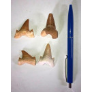 Shark teeth, 3 cm, Morocco, 1 piece