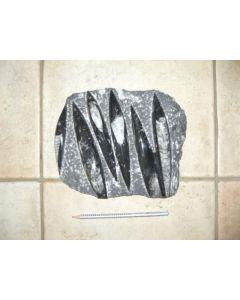 Orthoceras plate, ca. 20 - 25 cm, Morocco, 1 piece