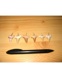 Shark teeth, with wire for jewellery, Morocco 100 pieces