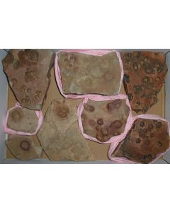 Fossils, precambrian (Albumarid/Skinnera sp., etc.), Nama Formation, Namibia, 1 flat