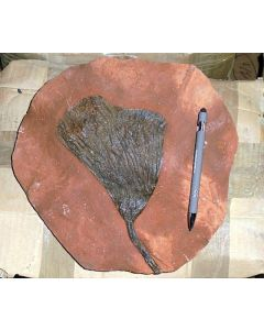 Crinoid head, Morocco, large, 1 piece